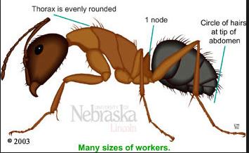 pest cntrol - ants